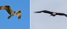 """Onondaga Lake Birds of Prey"" Photography Exhibit to Highlight Images of Wildlife Returning to Onondaga Lake"