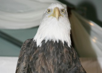 Liberty the Bald Eagle