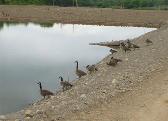 Canada geese visit a pool in the future wetlands