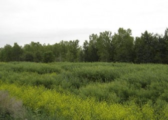 Shrub Willow Project Expands to 10 Acres: Total Number of Shrub Willows Planted - 100,000
