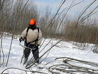 Shrub Willow Harvesting