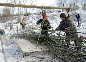 Shrub Willow Weighing