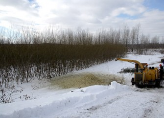 Shrub Willow Chipping