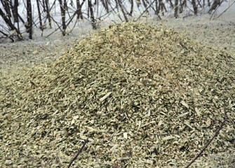 Shrub Willow Chips