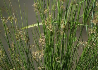 Softstem bulrush, a native emergent wetland species, is now thriving in the transformed Geddes Brook wetlands.
