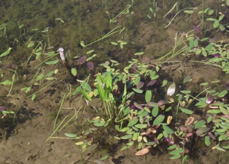 Chara, a dark green algae also called muskweed, grows underwater while water plantain floats on the surface and pickerel weed sticks up out of the water.