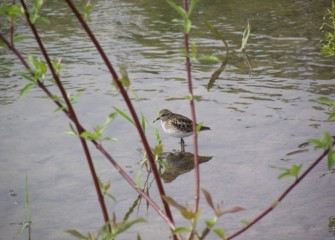 A pectoral sandpiper hunts for invertebrates in the Geddes Brook wetlands.