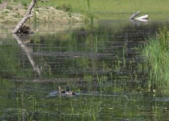 A pair of nesting mallards swimming at Geddes Brook wetlands.