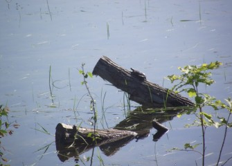 When not sunning itself as here, the painted turtle hunts along the water bottom, eating small fish and insects.