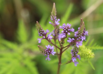 Blue vervain, a native wildflower, blooms in the wetlands.