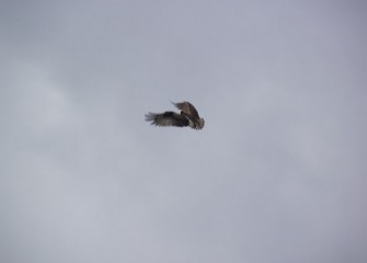 An osprey is spotted flying near Nine Mile Creek.