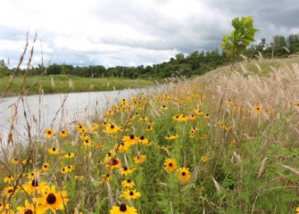 The banks of Nine Mile Creek become colorful with blooming black-eyed Susans.