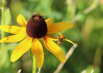A soldier beetle clings to a black-eyed Susan petal.