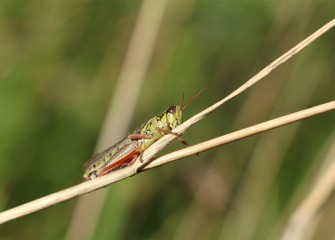 A grasshopper clings to a rye grass stem.