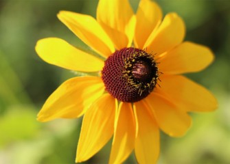 Black-eyed Susan pollen attracts a variety of butterflies, while birds later enjoy eating the seeds.