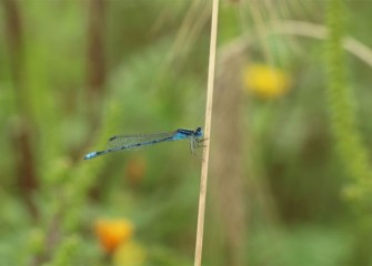A damselfly rests.