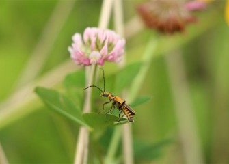 A soldier beetle rests on a spotted Joe-pye weed leaf, in front of a red clover.