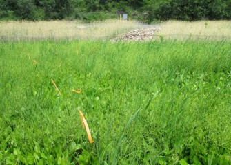 Cattails and burweed stand tallest in this wet area, with water plantains below.