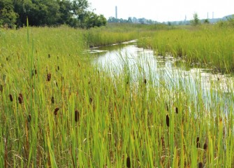 Cattails and other native plants now grow abundantly in an area where invasive species once dominated. SUNY- ESF, Audubon and Ducks Unlimited provided input into the design of the restored wetlands.