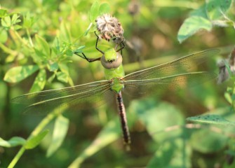 A green darner, also called a darning needle, rests on a plant.