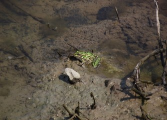 A leopard frog hunts by waiting until prey comes by.