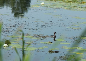 The pied-billed grebe is a shy bird, migrating at night, and diving underwater when it senses danger.