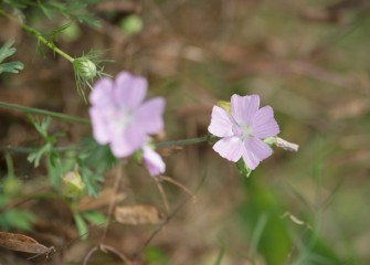 Wild geranium, a native species, blooms in the new wetlands.