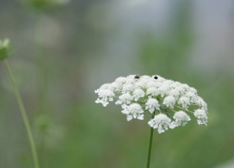 Queen Anne's lace flowers, mostly white with a single dark purple bud in the center, attract insects.