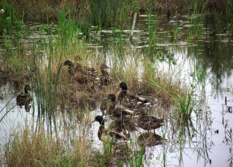 Mallards nest on dry ground close to water. Mallards eat both aquatic and land vegetation, as well as insects, larvae and other invertebrates.