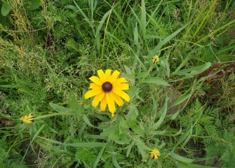 A black-eyed Susan surrounded by a variety of other plant species.