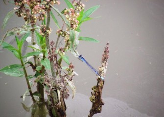 A common bluetail damselfly rests on Pennsylvania smartweed, a native plant.