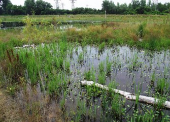 The Geddes Brook wetlands continue to develop, showing a healthy diversity of plants and animals.
