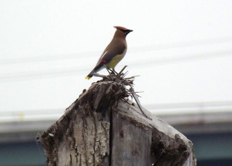 A cedar waxwing sits atop a natural wood perch.