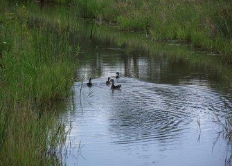 A female wood duck swims with her young in a shallow channel near the west bank of the wetlands.