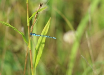 Damselflies fold their more delicate wings back when they land, as opposed to dragonflies, which leave them open.