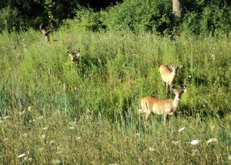 Male whitetail deer near the edge of the wetlands. Bucks often congregate in summer before the start of breeding season.
