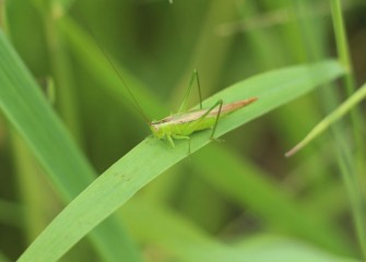 A slender meadow katydid blends in with its surroundings. Katydids, primarily nocturnal, excel at camouflaging themselves daytime.