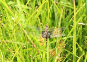 "Black saddlebag dragonflies belong to a group called the ""skimmers"" because they tend to fly low over water."