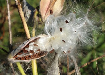 Monarch butterfly larvae feed exclusively on milkweed, seen here seeding.