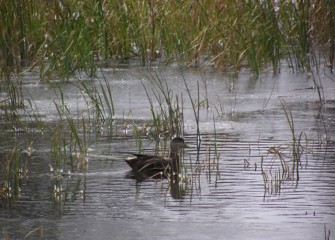 The shy American black duck experienced a significant decline in the mid-twentieth century due to habitat loss, but its numbers are now stable.