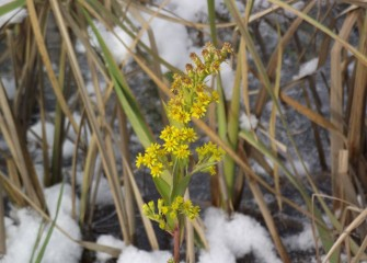 Seaside goldenrod, a native plant well adapted to salt marshes and sand dunes as well as wetlands, flowers late in season.