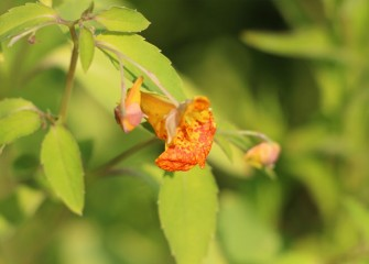 "Jewelweed, a native plant, is nicknamed ""touch-me-not"" because the fruit that later develops explodes open when touched, releasing its seeds."