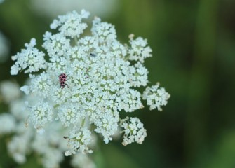 Ladybugs are small spotted beetles beneficial to the habitat as natural predators of aphids and other pest insects. This one is foraging on Queen Anne's lace.