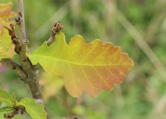 A swamp white oak's leaves begin to turn yellow and reddish for fall.