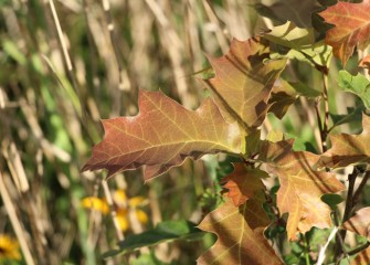 The leaves of a northern red oak planted last year along Nine Mile Creek begin to turn red for fall. The red oak will stand 60 to 90 feet tall at maturity.