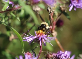 The native New England aster, which blooms from August to October, is an excellent source of nectar and pollen for bees and butterflies.