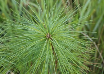 A grasshopper hides among the needles of this white pine.