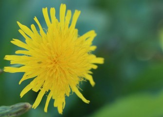 Dandelions have a long flowering season, lasting into fall.