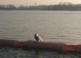 A snowy owl is spotted on the silt curtain.