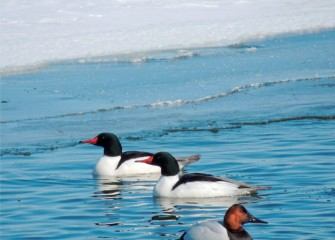 """Common Mergansers with Canvasback"" Photo by Suzanne Ray"